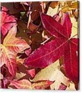 Liquidambar Autumn Canvas Print
