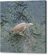 Little Bittern Canvas Print
