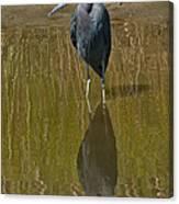 Little Blue Heron Assateague Island Canvas Print
