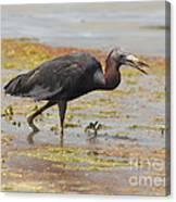 Little Blue Heron In Swamp Canvas Print