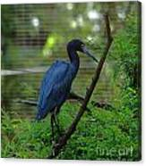 Little Blue Heron Portrait Canvas Print