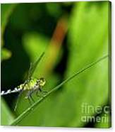 little Green wings Canvas Print