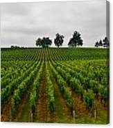 Little Hill In The Vineyard Canvas Print