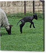 Little Lamb Playing Canvas Print