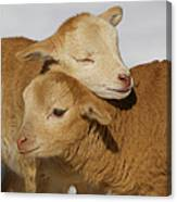 Little Lambs Canvas Print