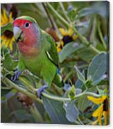 Little Lovebird Canvas Print