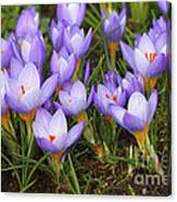 Little Purple Crocuses Canvas Print