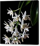 Little White Orchids Canvas Print