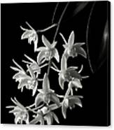 Little White Orchids In Black And White Canvas Print