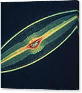 Lm Of A Diatom Alga, Caloneis Permagna Canvas Print