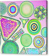 Lm Of Fossilized Diatoms Canvas Print