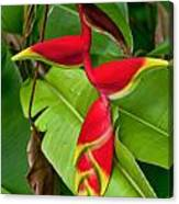 Lobster Claw Heliconia Canvas Print