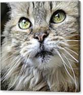 Lolas Whiskers Canvas Print