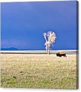 Lone Buffalo 3 Canvas Print