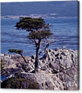 Lone Cypress By The Sea Canvas Print