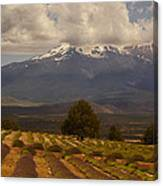 Lone Tree And Lavender Fields Canvas Print