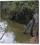 Lone Zebra At The Drinking Hole Canvas Print