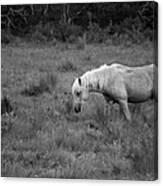 Lonesome Pony Canvas Print