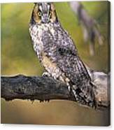 Long Eared Owl On Branch Canvas Print