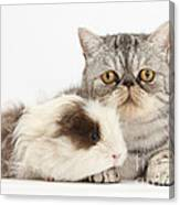 Long-haired Guinea Pig And Silver Tabby Canvas Print