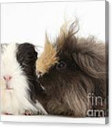 Long-haired Guinea Pigs Canvas Print