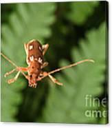 Long-horned Beetle In Flight Canvas Print