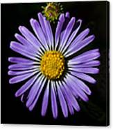 Long Leaved Aster Canvas Print
