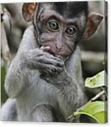 Long-tailed Macaque Macaca Fascicularis Canvas Print