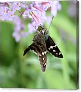 Long Tailed Skipper - Urbanus Proteus Canvas Print