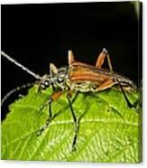 Longhorn Beetle Canvas Print