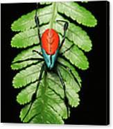 Longjawed Orb Weaver Opadometa Sp Canvas Print