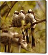 Longtailed Tit Fledglings Canvas Print