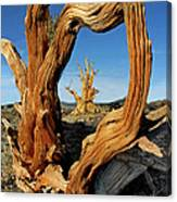 Looking Through A Bristlecone Pine Canvas Print