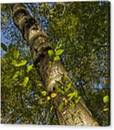 Looking Up At A Tree Trunk Canvas Print