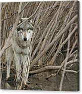 Looking Wild Canvas Print