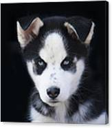 Lop Eared Siberian Husky Puppy Canvas Print
