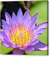 Lotus Aglow Canvas Print