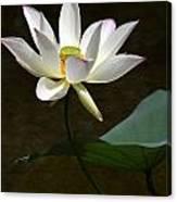 Lotus Beauty Canvas Print