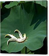 Lotus Leaf--castoff IIi Dl060 Canvas Print