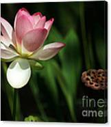 Lotus Opening To The Sun Canvas Print