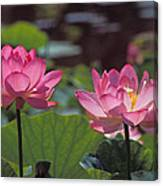 Lotus Pair 24m Canvas Print