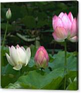 Lotus--stages Of Life II Dl024 Canvas Print