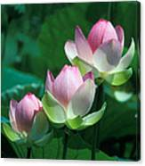 Lotus--stepping Stones 24p Canvas Print