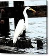Louisiana Egret Canvas Print