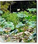 Louisiana Lily Pads Canvas Print