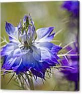Love In The Mist - Nigella Canvas Print
