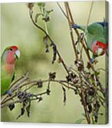Lovebirds At Play  Canvas Print