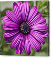 Lovely African Daisy - Osteospermum Canvas Print
