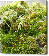 Lovely Green Lichen Canvas Print