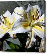 Lovely Sunlit Lily Canvas Print